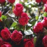 Красная роза в бутонах