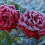 Роза после заморозков