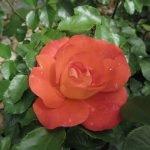 Роза абрикосового цвета