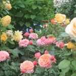 Желто-розовый розарий