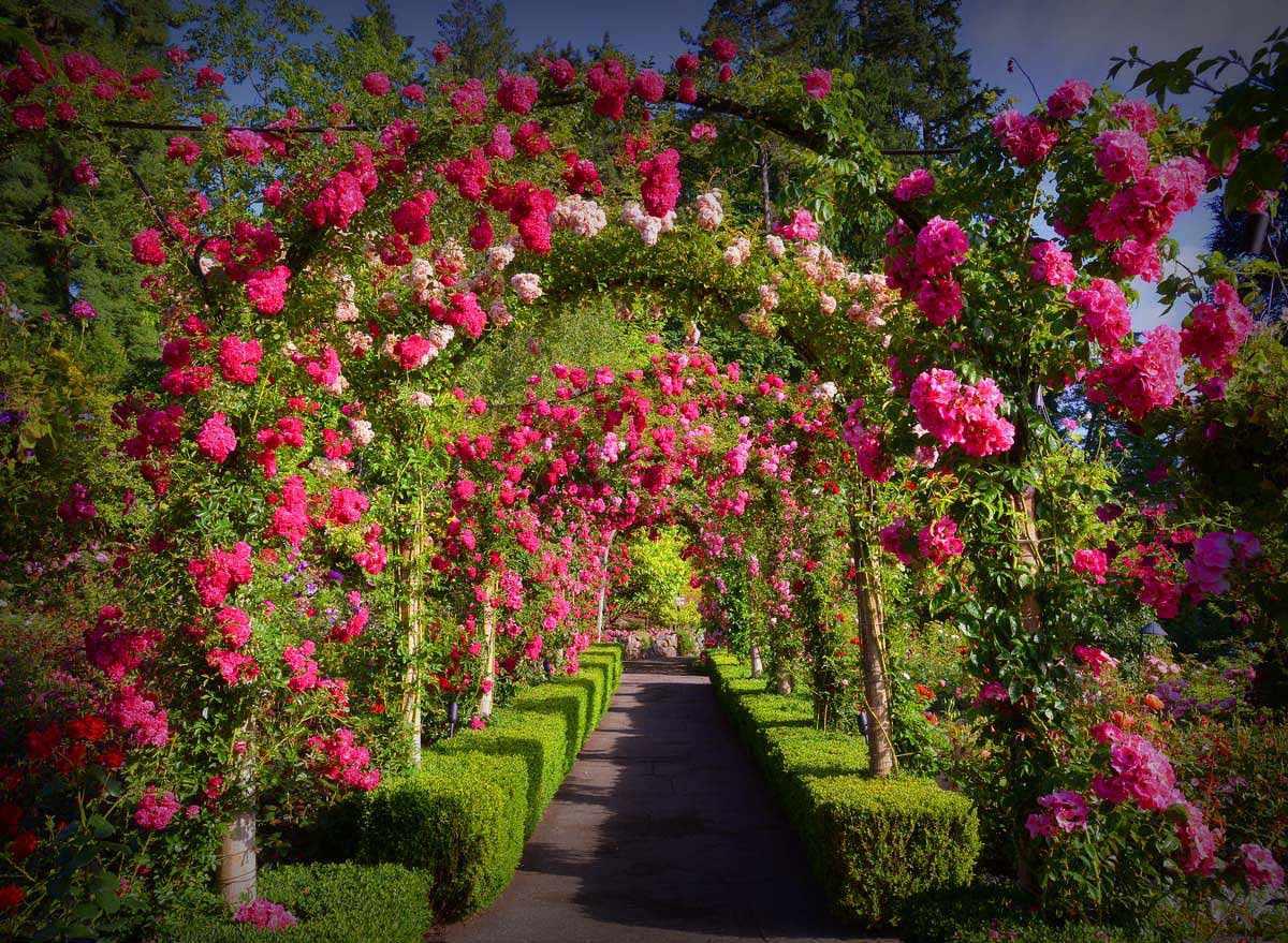 Розы в вертикальном озеленении