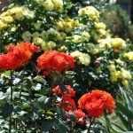 Оранжевые и желтые розы