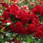 Алые кустовые розы