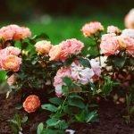 Розы розового оттенка