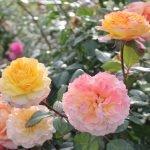 Желто-персиковые розы
