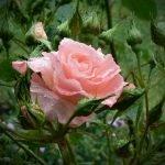 Роза в окружении зелени
