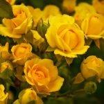 Много желтых роз