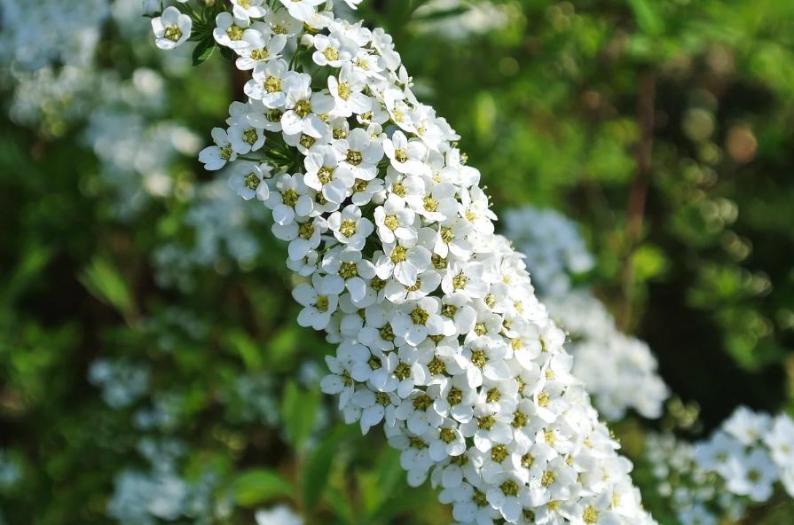 Растение спирея