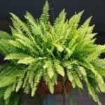Папоротниковое растение
