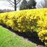 Забор из желтого кустарника