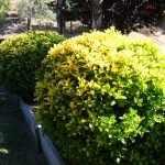 Живая изгородь из бересклета